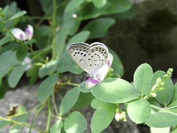 シジミチョウ & 萩の花.jpg