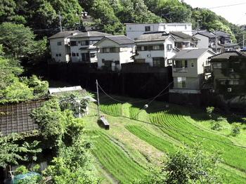 稲の生長.jpg