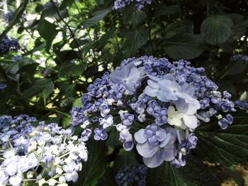 紫陽花-14.jpg