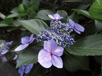 紫陽花-6.jpg