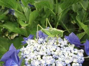 紫陽花と虫.jpg