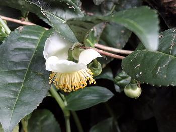 茶の花.jpg