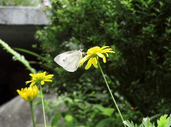 蝶とユリオプスデージー.jpg