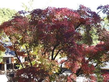 大木の紅葉.jpg