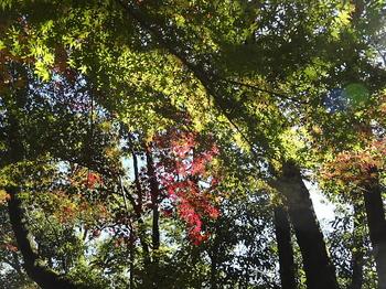 日の当たる紅葉-2.jpg