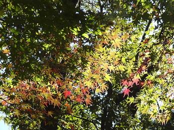 日の当たる紅葉-3.jpg