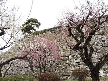 石垣と梅-1.jpg